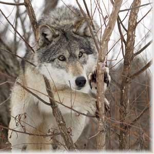 Охота волк охота на волков хищники