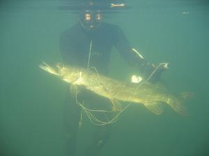 Подводная охота | охота на щуку | особенности охоты на щуку