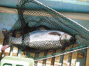 рыба толстолобик ловля