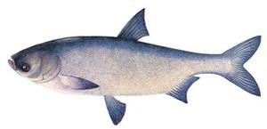 рыба толстолобик фотографии